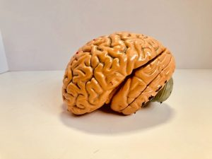 Photo of human brain model